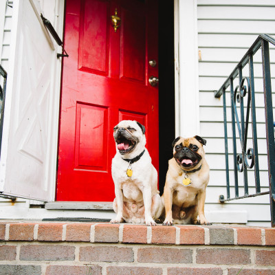 The Pugs of South Boston